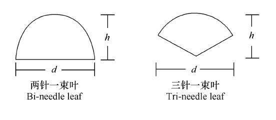 两针一束叶片,选择的两个直径方向为叶片宽度(d)和厚度(h)方向,直接计算d与2h的比值R;三针一束叶片,相当于三针叶把圆周角平分,每针叶所对应的圆心角应为120,根据叶片宽度(d)和其所对应的圆心角(120)利用三角原理求算半径,再计算其与另一个实测半径(厚度h)的比值R。利用t检验比较比值R与1之间的差异,结果表明(表1),在0.